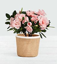 Pink Rosalea Plant