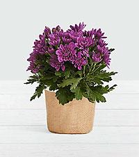 Purple Mum
