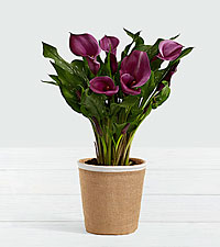 Dark Purple Calla Lily