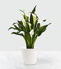 White Christmas Calla Lily