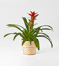 Ruby Red Bromeliad