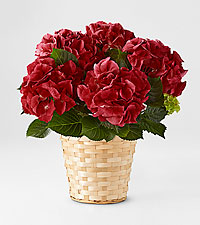 True Romance Hydrangea