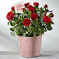 Festive Fun Holiday Mini Rose
