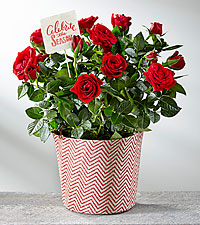 holiday mini rose - Mini Live Christmas Trees