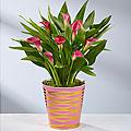 Pink Ombre Valentine's Day Calla Lily Plant