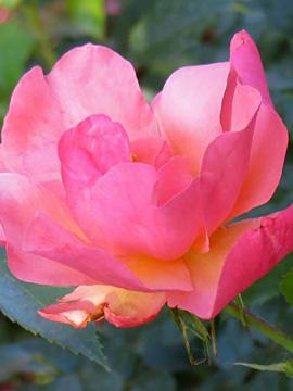 No-Fuss Shrub Roses