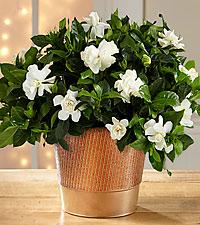Holiday Style Gardenia