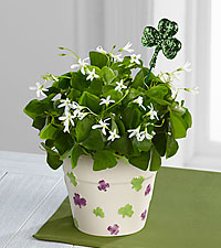 Happy St. Patrick's Day Shamrock Plant