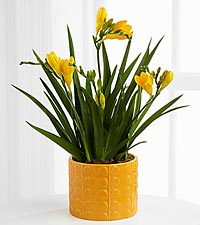 Seize the Sunshine Freesia Plant