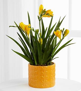 Seize the Sunshine Freesia Plant