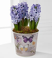 Butterfly Flight Hyacinth Plant