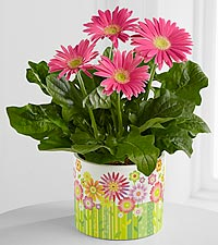 Happiest Wishes Springtme Gerbera Daisy Plant for Mom