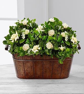 Blooming Grace Gardenia Plant Duo