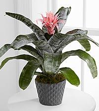 Flash of Insight Bromeliad Plant