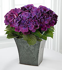 Purple Prose Hydrangea Plant