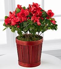 Popping Pink Azalea Plant