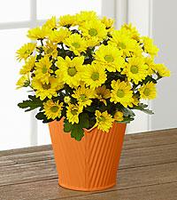 Sunshine Spirit Mum Plant