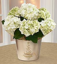 Winter Starshine Holiday Hydrangea Plant