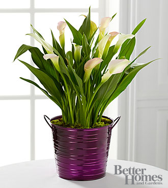 The FTD® Sugarplum Chic Holiday Calla Lily Plant by Better Homes and Gardens®
