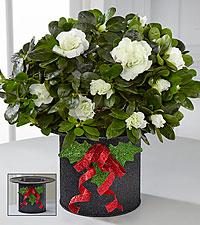 Snowfall's Enchantment Holiday Azalea Plant