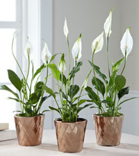 Outer Peace Lily Plant