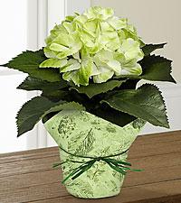 Midori Mist Hydrangea Plant