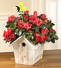 Spring Sunrise Azalea Plant