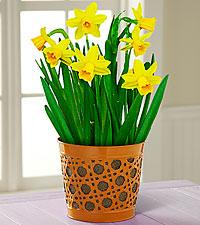 Daffodil Dreams Plant