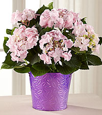 Charmed, and Sure, Pink Lace Cap Hydrangea