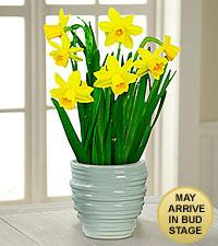 Bring on Spring Daffodil Plant