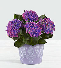 Spring Surprise Purple Hydrangea Plant