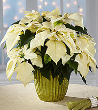 Best in Snow Holiday Poinsettia