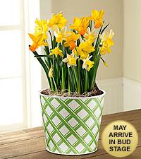 Spring Sunshine Daffodil Bulb Garden-BETTER