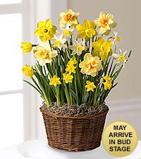 Deluxe Daffodil Bulb Garden