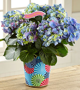 Best Day Ever Birthday Hydrangea
