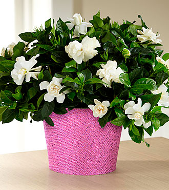 Set to Sparkle Gardenia