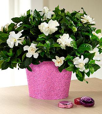 Set to Sparkle Birthday Gardenia with Chocolates