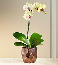 Coffee & Cream Orchid Plant