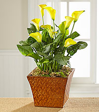 Harvest Sunshine Calla Lily Plant
