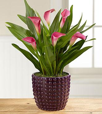 Autumn Elegance Calla Lily Plant-Better