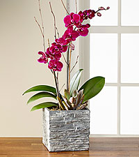 Magenta Magic Orchid