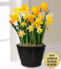 Spring Sunshine Daffodil Bulb Garden-Good