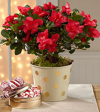 Holiday Fun Azalea with Mint Candies