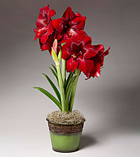 Winter Wonder Holiday Amaryllis