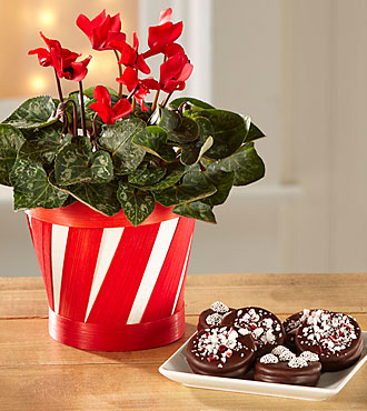 Candy Cane Cool Cyclamen with Chocolate Dipped Peppermint Oreo® Cookies
