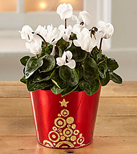 Magic Moments Holiday Cyclamen
