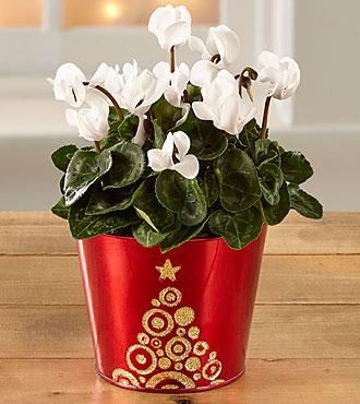 Magic Moments Holiday Cyclamen