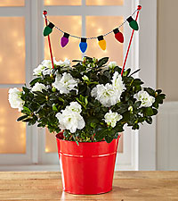 Old Fashioned Christmas Holiday Azalea