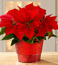 Enchanted Christmas Poinsettia
