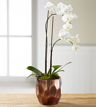 Winter Welcome Orchid